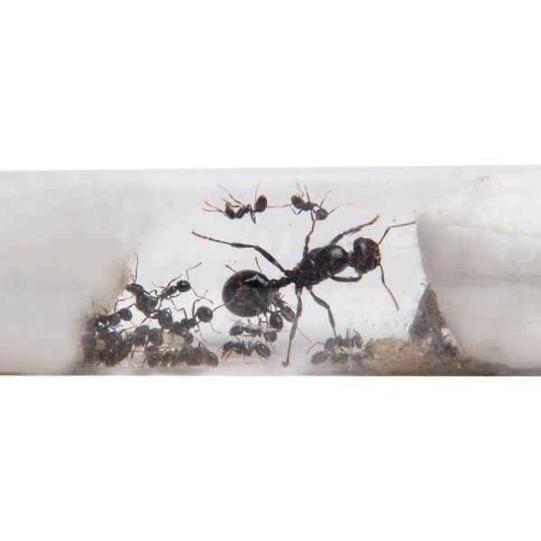 Messor barbarus 1-4 testtube